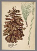 Pinus palustris (Long-leaved Pine)
