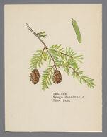 Tsuga canadensis (Hemlock)