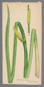 Acorus calamus (Calamus Root)
