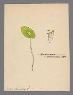 Lemnoideae (Duckweed)