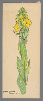 Verbascum thapsus (Great Mullien)