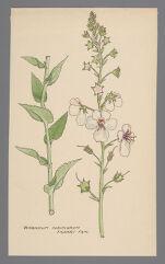 Verbascum albiflorum [Verbascum blattaria var. albiflorum] (Moth Mullien)
