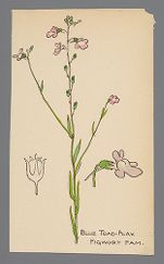 Linaria canadensis (Blue Toadflax)