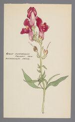 Antirrhinum majus (Great Snapdragon)