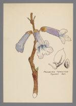 Paulownia tomentosa (Princess Tree)