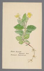 Mimulus moschatus (Musk Flower)