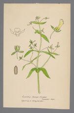 Gratiola virginiana (Roundfruit Hedge-Hyssop, Clammy Hedge-Hyssop)