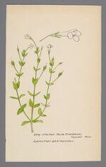 Ilysanthes gratioloides (Long Stalked False Pimpernel)