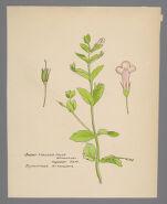 Ilysanthes attenuata (Short Stalked False Pimpernel)