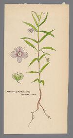Veronica scutellata (Marsh Speedwell)