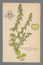 Veronica arvensis (Corn or Wall Speedwell)