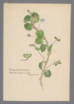 Veronica byzantina (Buxbaum's Speedwell)