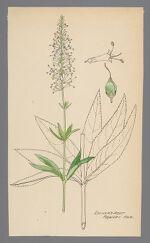 Veronicastrum virginicum (Culver's Root)