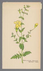 Aureolaria pedicularia (Fern Leaved False Foxglove, Fern Leaved Foxglove)