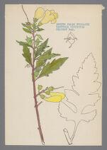 Dasytoma virginica (Smooth False Foxglove)