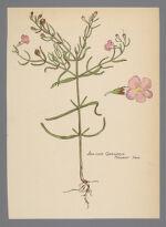 Agalinis maritima (Seaside Gerardia)