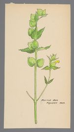 Crotalaria spectabilis (Rattlebox)