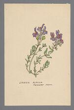 Linaria alpina (Alpine Toadflax)