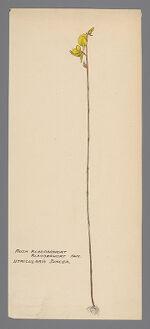 Utricularia juncea (Rush Bladderwort)