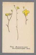 Utricularia pusilla (Tiny Bladderwort)