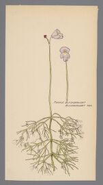 Utricularia purpurea (Purple Bladderwort)