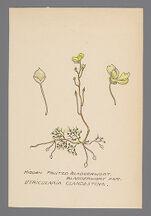 Utricularia clandestina (Hidden Fruited Bladderwort)