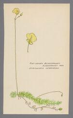 Utricularia intermedia (Flatleaf bladderwort)
