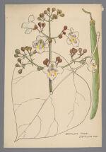 Catalpa (Catalpa Tree)