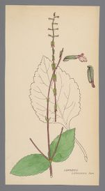 Phryma leptostachya (Lopseed, American Lopseed)