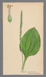 Plantago rugelii (Rugel's Plantain)