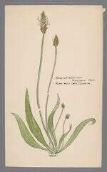 Plantago lanceolata (English Plantain)