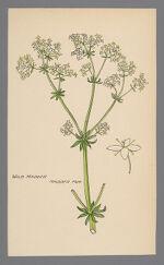 Galium obtusum (Wild Madder)