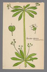 Galium aparine (Goosegrass)