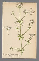 Galium concinnum (Shining Bedstraw)