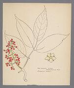 Sambucus pupens (Red-Berried Elder)