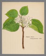 Viburnum lantanoides (Hobblebush)