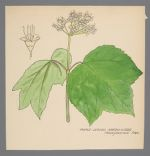 Viburnum acerifolium (Maple Leaved Arrow-wood)