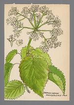 Viburnum dentatum (Arrow-wood)