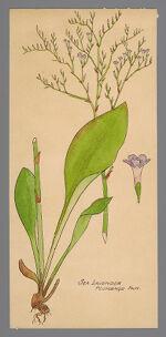 Limonium (Sea Lavender)