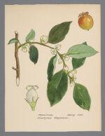Diospyros virginiana (Persimmon)