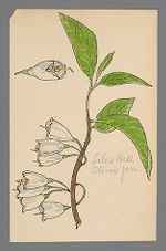 Halesia (Silver Bell)