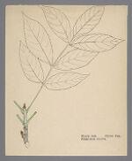 Fraxinus nigra (Black Ash)