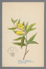 Gelsemium sempervirens (Yellow Jessamine)