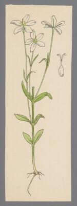 [Sabatia brevifolia] (Shortleaf Rose Gentian)