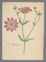 Sabatia dodecandra (Large Marsh Pink)