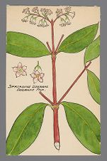 Apocynum androsaemifolium (Spreading Dogbane)