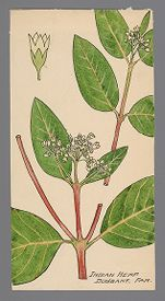 Apocynum cannabinum (Indian Hemp)