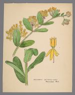 Asclepias tuberosa (Decumbent Butterfly-Weed)