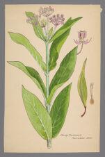 Sarcostemma hirtellum (Hairy Milkweed)
