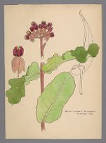 Asclepias amplexicaulis (Blunt Leaved Milkweed)